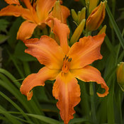 hemerocallis_primal_scream_apj19_1.jpg