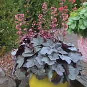 Dolce® 'Silver Gumdrop' - Coral Bells - Heuchera hybrid