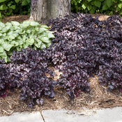 heuchera_black_pearl_6.jpg