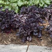 heuchera_black_pearl_7.jpg