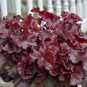 Dolce® 'Cherry Truffles' - Coral Bells - Heuchera hybrid