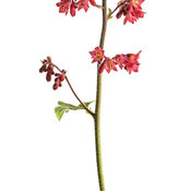 heuchera_dolce_spearmint_03.jpg