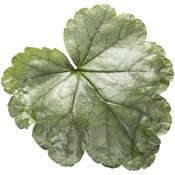 heuchera_dolce_spearmint_04.jpg