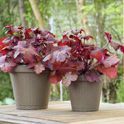 heuchera_mahogany_monster.jpg
