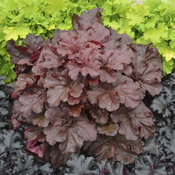 heuchera_mahogany_monster_cjw16_4.jpg