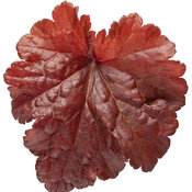 heuchera_primo_mahogany_monster_04.jpg