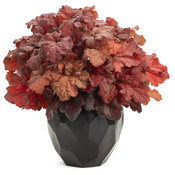 heuchera_primor_mahogany_monster.jpg