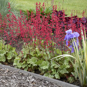 heuchera_spearmint_4.jpg