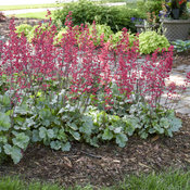 heuchera_spearmint_7.jpg