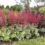 heuchera_spearmint_9.jpg