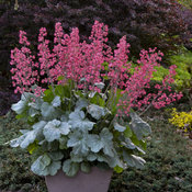 heuchera_spearmint_apj17_9.jpg