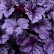 heuchera_wildberry_apj17_3.jpg