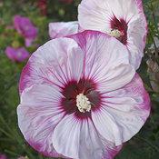hibiscus-cherrycheesecake_mainimage.jpg
