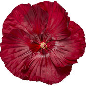 hibiscus-cranberry-crush-02.jpg