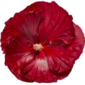 hibiscus-cranberry-crush-03.jpg