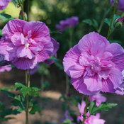 Dark Lavender Chiffon® - Hibiscus syriacus