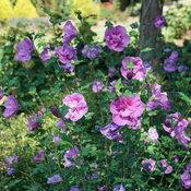 hibiscus-dark-lavender-chiffon-2.jpg