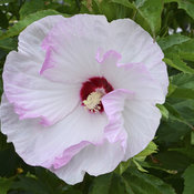 Summerific® 'Ballet Slippers' - Rose Mallow - Hibiscus hybrid