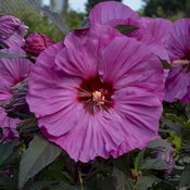 Summerific® 'Berry Awesome' - Rose Mallow - Hibiscus hybrid