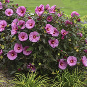 hibiscus_berry_awesome_apj18_6.jpg