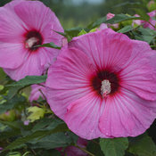 hibiscus_candy_crush_apj17_7.jpg