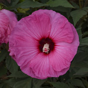 Summerific® 'Candy Crush' - Rose Mallow - Hibiscus hybrid
