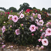 hibiscus_cherry_choco_latte_apj18_8.jpg