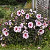 hibiscus_cherry_choco_latte_apj20_2.jpg