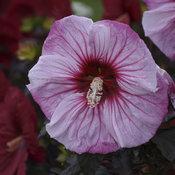 hibiscus_cherry_choco_latte_cjw18_5.jpg