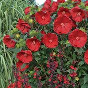 hibiscus_cranberry_crush_habit.jpg