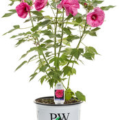 hibiscus_evening_rose_3-gal.jpg