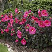'Evening Rose' Hibiscus
