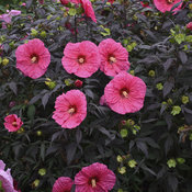 hibiscus_evening_rose_cjw18_1.jpg