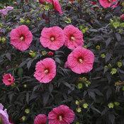 Summerific® 'Evening Rose' - Rose Mallow - Hibiscus hybrid