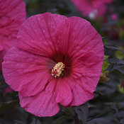 hibiscus_evening_rose_cjw18_6.jpg