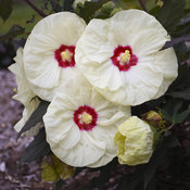 Summerific® 'French Vanilla' - Rose Mallow - Hibiscus hybrid
