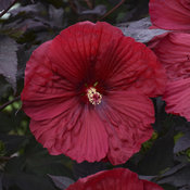 'Holy Grail' Hibiscus