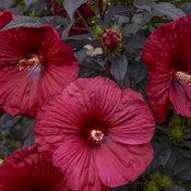 hibiscus_holy_grail_apj19_7.jpg