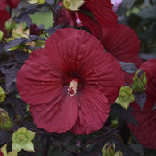 Summerific® 'Holy Grail' - Rose Mallow - Hibiscus hybrid