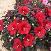 hibiscus_holy_grail_hh.jpg
