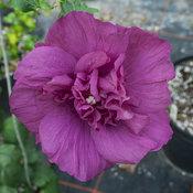 hibiscus_magenta_chiffon_3.jpg