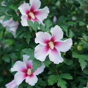 hibiscus_paraplu_pink_ink_dsc01302.jpg