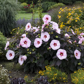 hibiscus_perfect_storm_apj18_19.jpg