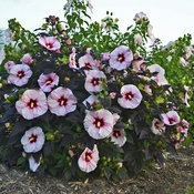 hibiscus_perfect_storm_cjw15_9.jpg