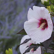 'Perfect Storm' Hibiscus