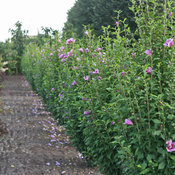 hibiscus_purple_pillar_hedge_img_7157_smn.jpg