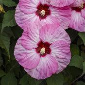 Summerific® 'Spinderella' - Rose Mallow - Hibiscus hybrid