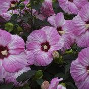 hibiscus_spinderella_cjw18_11.jpg