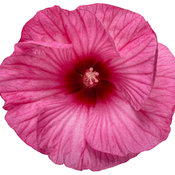 hibiscus_summerific_candy_crush_01-macro.jpg