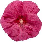 hibiscus_summerific_evening_rose_03-macro.jpg
